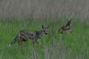 zambia kasanka safari Side striped Jackal
