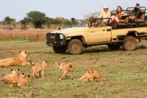 zambia lower zambezi sausage tree camp lion pride with cubs