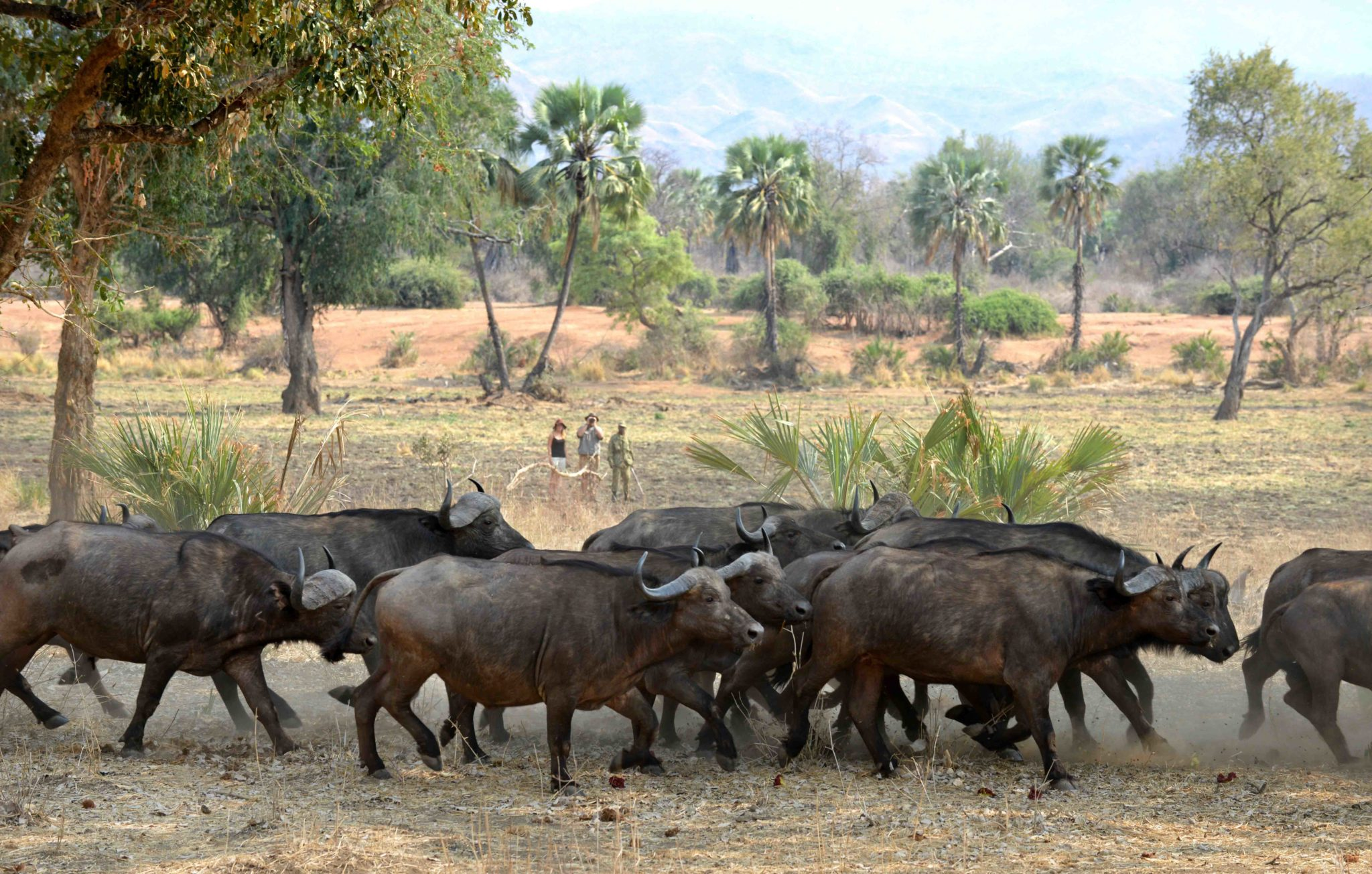 zambia lower zambezi sausage tree camp walking buffalo on foot