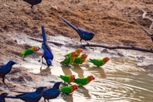 zambia luangwa valley birding safari love birds