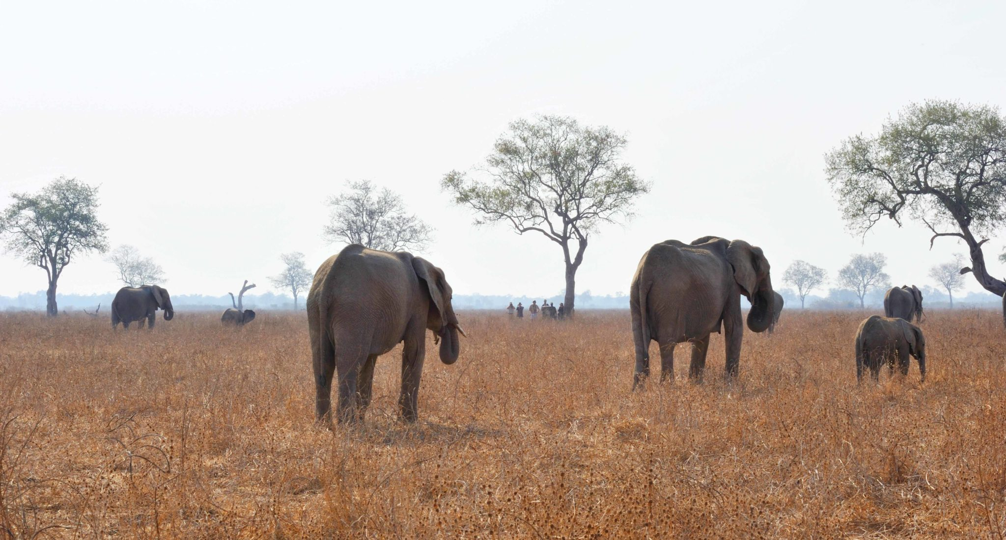 zambia luangwa valley elephant wlaking safari tracking