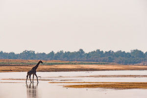 zambia luangwa valley giraffe safari
