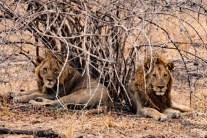 zambia luangwa valley lion sighting big five