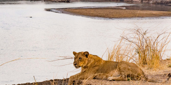zambia luangwa valley lion with view