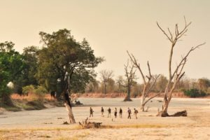 zambia south luangwa walking safari across plains