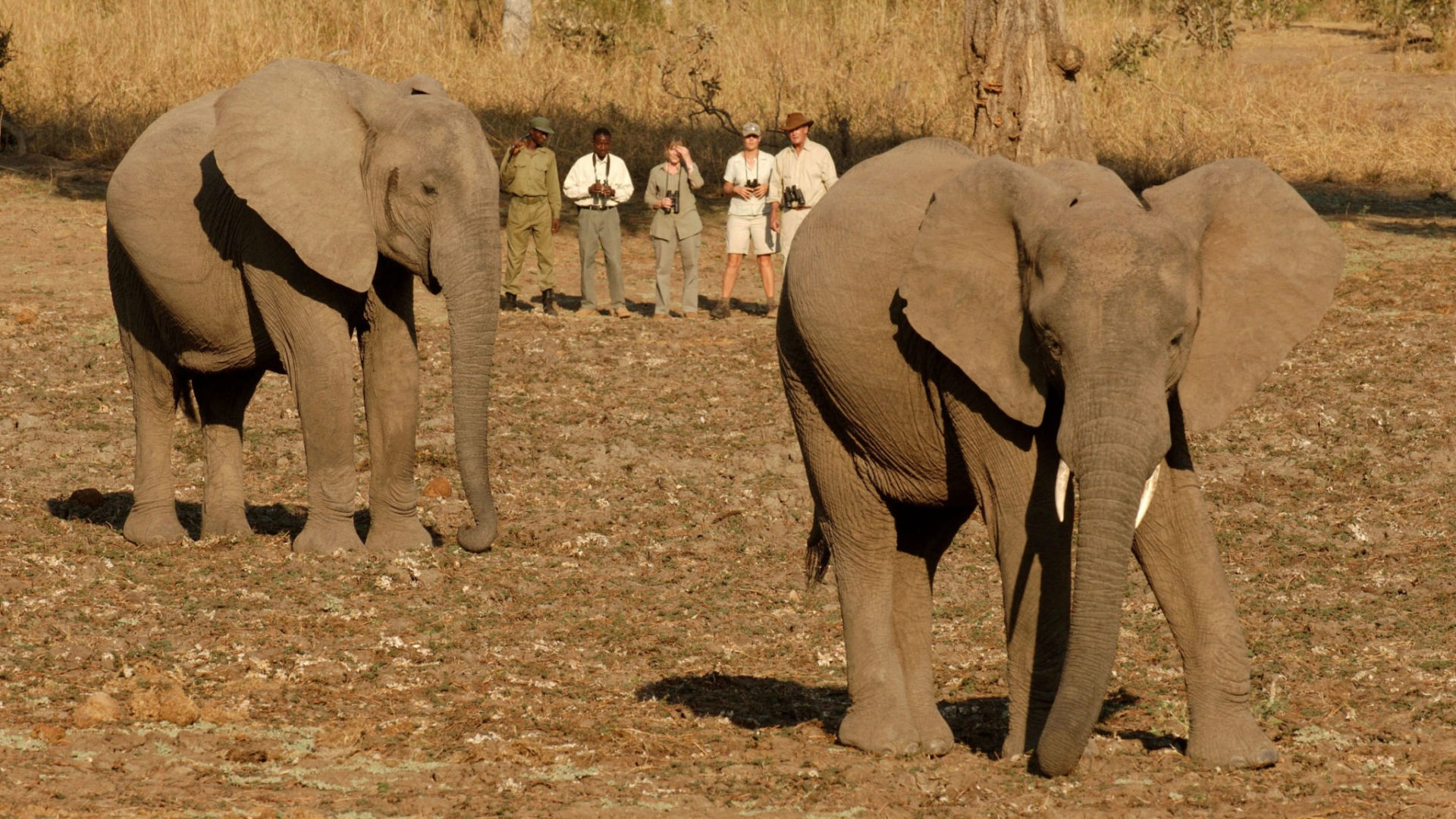 zambia south luangwa walking safari elephant encounter
