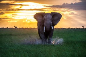 Encounter Mara Elephant sunset