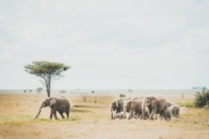 tanzania safaris elephant herd view