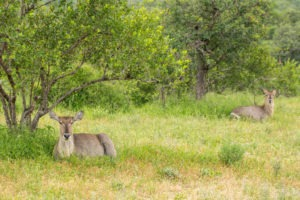 waterbuck summer timbavati