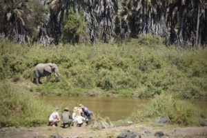 kichaka ruaha elephant encounter