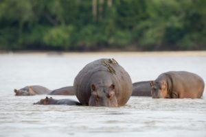 sand rivers selous hippo
