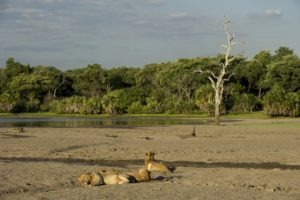sand rivers selous lions