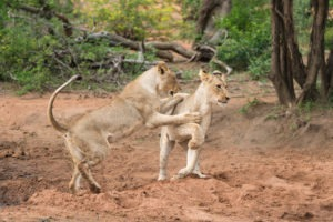 amani safari camp lions