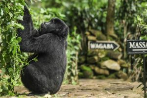 bwindi lodge uganda gorilla in camp