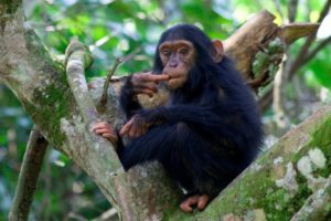 kyambura gorge lodge uganda baby chimp