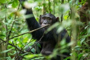 uganda wildlife chimp