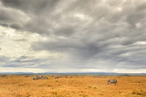 Naboisho Conservancy zebra grazing MR 1