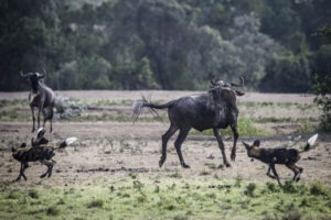 Wild Dog on the hunt 6R1A5398 highres