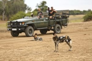 Lion Camp by Mantis Game Veiwing Wilddogs Kopie