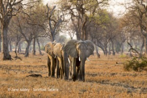 Surefoot Safaris Elephants