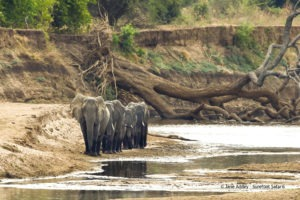 Surefoot Safaris Elephants At Mapazi