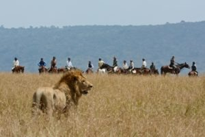 Horse Safari Lion alert