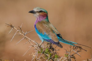 lilac breasted roller zambia luangwa