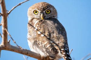 pearl spotted owlet zambia luangwa
