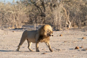lion savuti botswana photo safari male mane