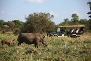 Elsas Kopje activities game drive rhino sanctuary white rhino with baby 5