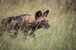 Loisaba Tented Camp wildlife rare wild dog c Silverless 35