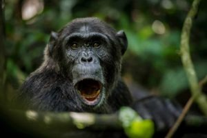 crater safari lodge uganda chimpanzee mouth open