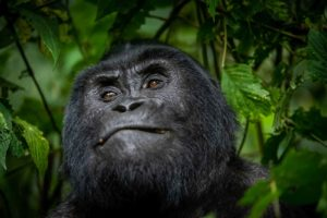 gorilla safari lodge uganda closeup