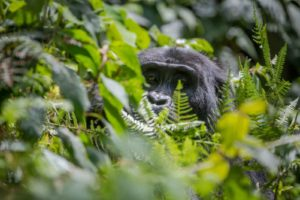 gorilla safari lodge uganda vegetation