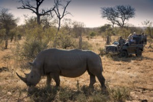 rockfig safari lodge timbavati rhino gamedrive