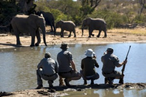 rockfig safari lodge timbavati walking safari elephants