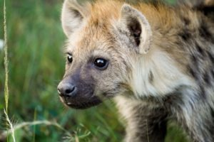 selati walking safari south africa hyena