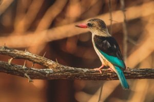 selati walking safari south africa kingfisher