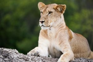 selati walking safari south africa lioness