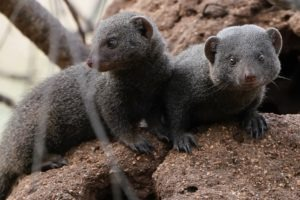 selati walking safari south africa mongoose