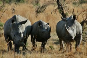 selati walking safari south africa rhino