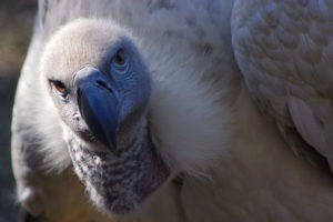 selati walking safari south africa vulture