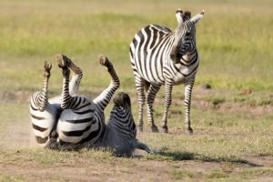 selati walking safari south africa zebra