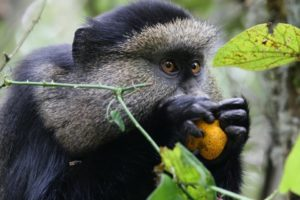 rwanda volanoes virunga lodge golden monkey