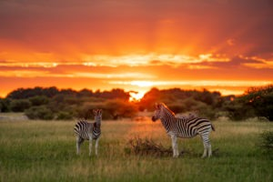 botswana sunset zebras frank photo
