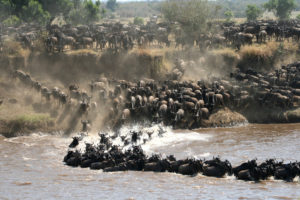 wildebeast migration tanzania crossing lamai