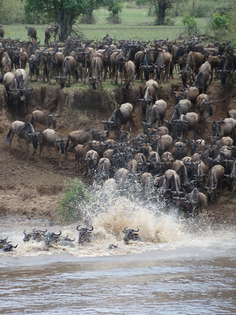 wildebeast migration tanzania crossing olakira camp