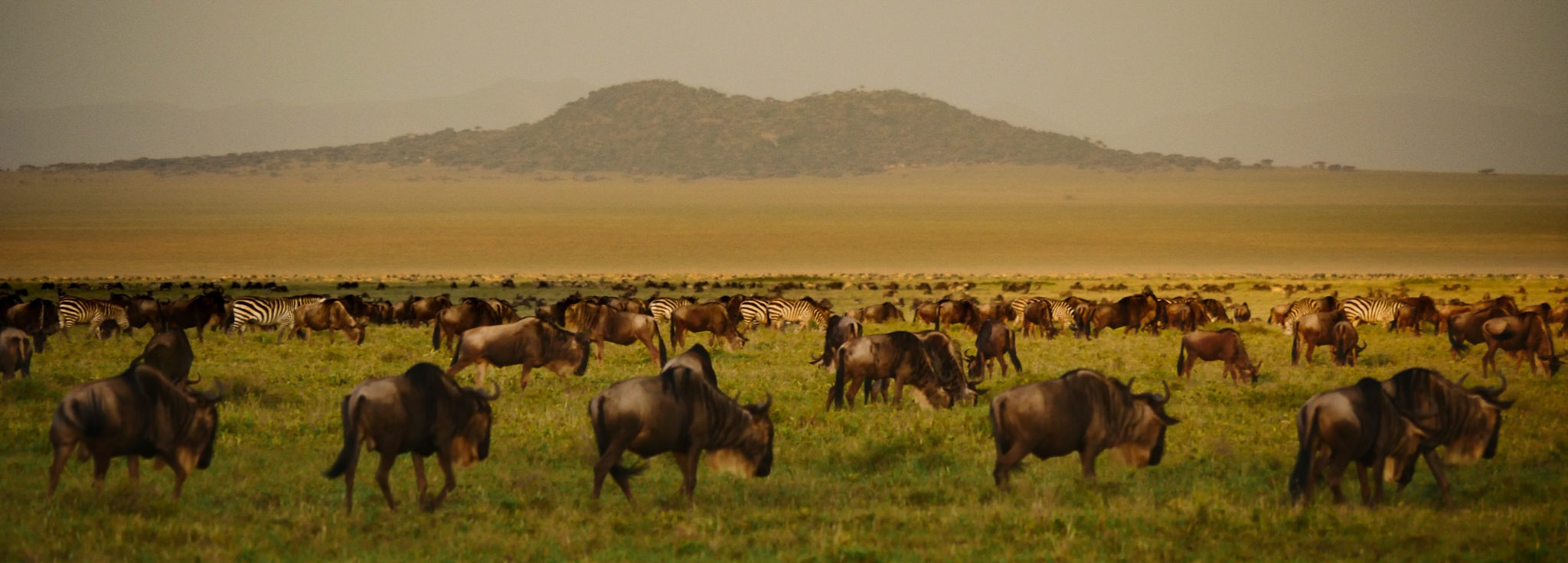 wildebeast migration tanzania naabi plains
