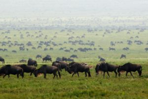 wildebeast migration tanzania south plains ubuntu