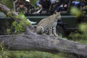 kirkmans camp sabi sands south africa leopard